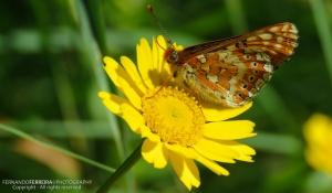 Macro/Borboleta Fritilária-dos-lameiros (Euphydryas auri