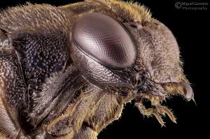 Macro/Hymenoptera Ichneumonidae