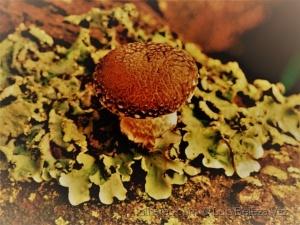 /shiitake (Lentinula edodes)  ao natural