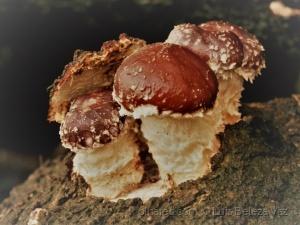/O 2º cogumelo  mais consumido no mundo