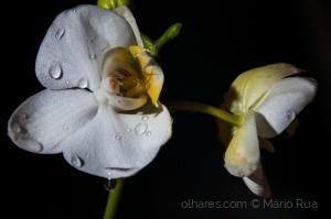 /Orquidea branca