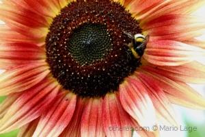 /A abelha !