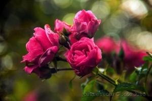 /Rosas, senhor são rosas....