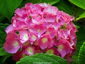 /Flores do Meu Jardim.. (Hortencia Rosa..)