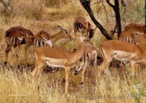 /As impalas!