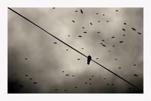 Animais/Pombo em fundo de gaivotas