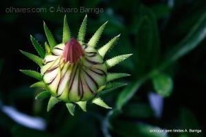 Macro/Flor a Brotar