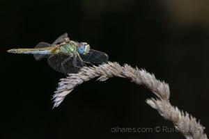 /a libelinha e a foice