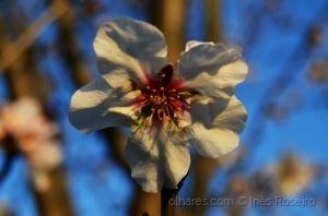 /Flor amendoeira