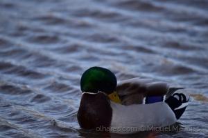 /Frozen Duck #2