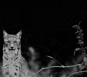 /Lince