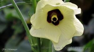/A Flor do Quiabo