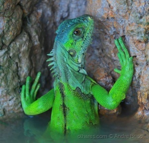 /Iguana Pantaneira