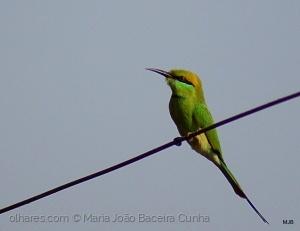 Animais/Abelharuco-verde