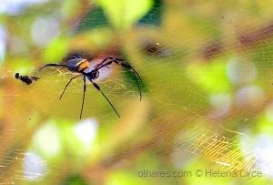 Macro/Aranha
