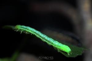 Animais/Chrysodeixis chalcites