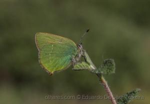 /Callophrys rubi