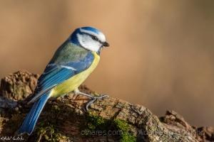 /mésange bleue