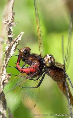 /Cannibal Dragonfly