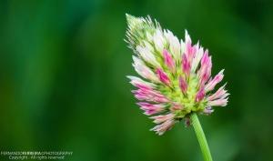 Macro/Trevo vesiculoso (Trifolium vesiculosum)