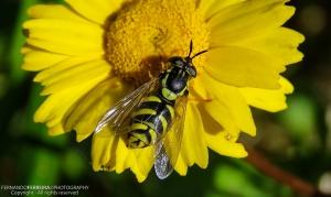 Macro/Mosca das flores (Chrysotoxum intermedium)