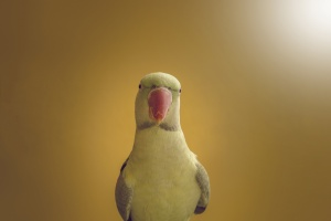 /Parrot