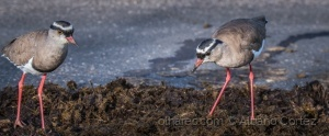 /Crowned Lapwing on elephant dung.
