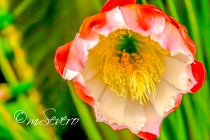 Paisagem Natural/Flor de cactus