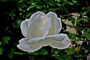 /A noite flutua e as rosas dormem mimosas aos beijo