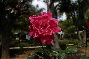 /Adoro rosas vermelhas,assim como adoro a vida.