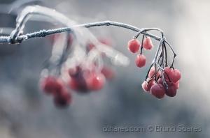 /Winter Berries