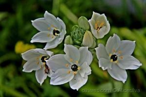 /Na beleza e pureza das flores brancas Deus descrev