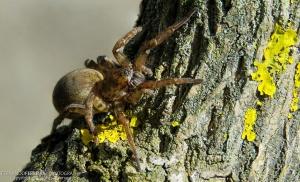 Macro/Aranha (Arctosa villica)
