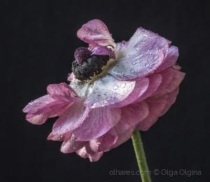 Macro/Ranunculus