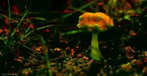 /...um fungo...um cogumelo, assim conhecido...