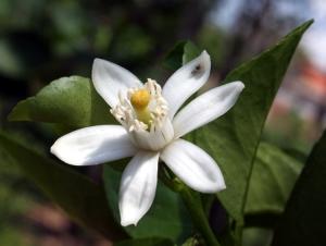 /Flor de laranjeira