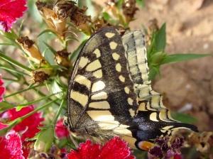 /Monarch