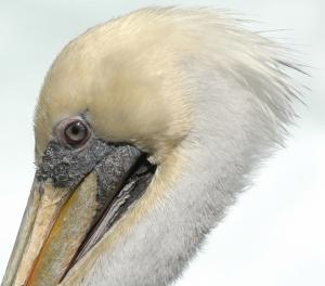 /Pelicano-II