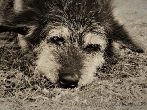 Animais/O cãozinho que parecia uma bola de pelo . (f. ler)