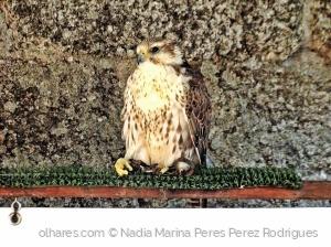 /Falcão...O príncipe das aves...