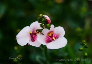 /Flor do campo.