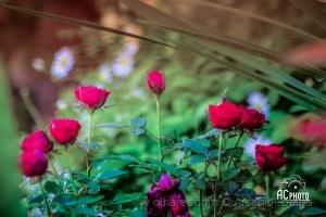 Macro/Rosas