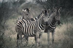 /Zebras