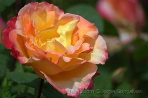 /Rosas - 1