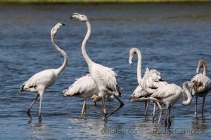 /Dança com Flamingos