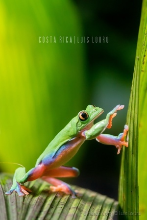 Animais/Golden-eyed Tree Frog