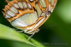 Macro/Malachite Butterfly