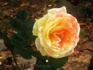 /plantei rosas....