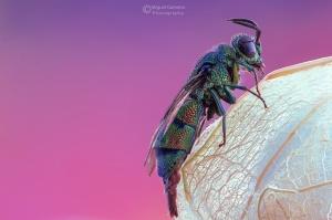 Macro/vespa cuco