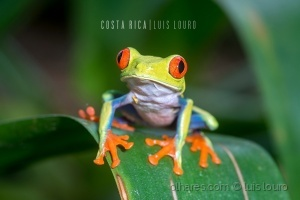/Red-eyed Tree Frog